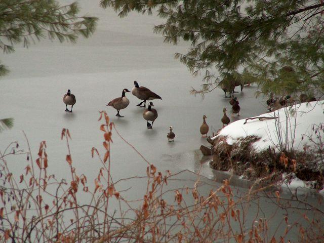 Geese ducks 2