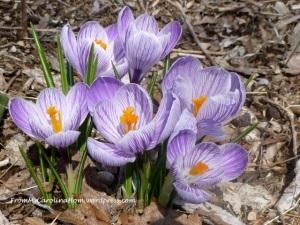 purplecrocus2