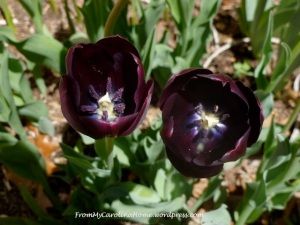 Darkpurpletulips
