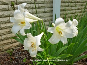 Easter lilly 2012