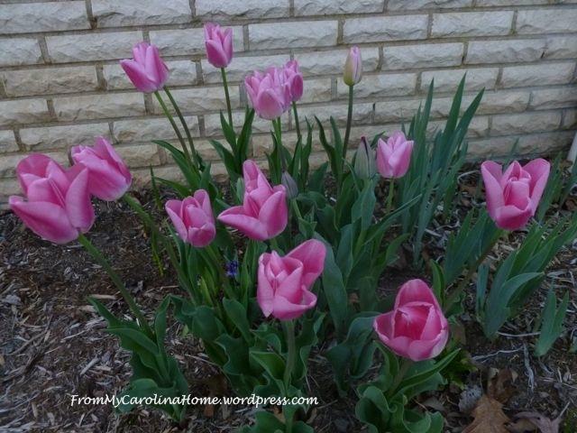 TulipsApril2014a