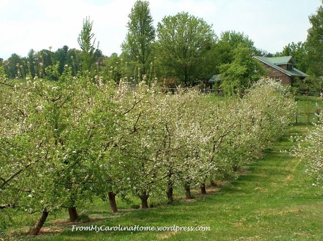 Apple orchard with house