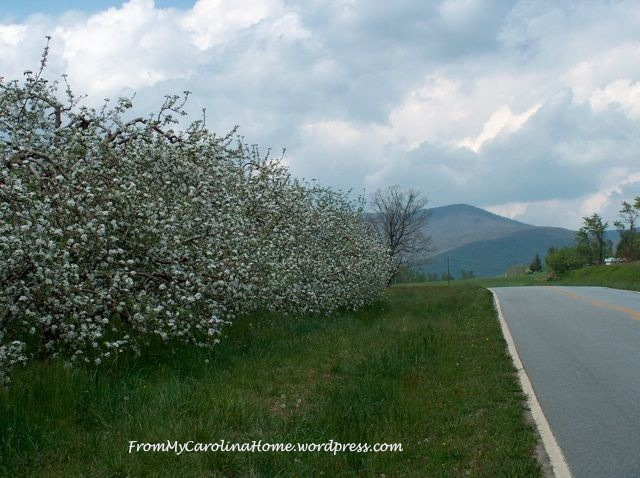 Apple orchard with mountain